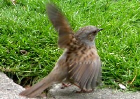 Dunnock or Hedge Sparrow