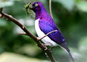 Amethyst Starling male