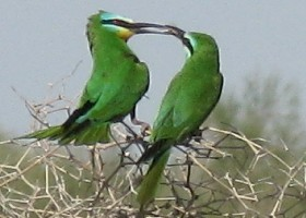 Blue-cheeked Bee-eater