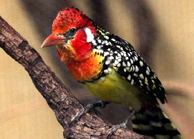 Red and Yellow Barbet female