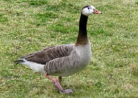 Ducks Geese Swans