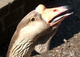 African China goose