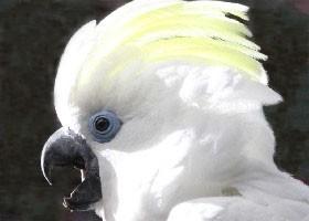 Blue eyed triton cockatoo - photo#26