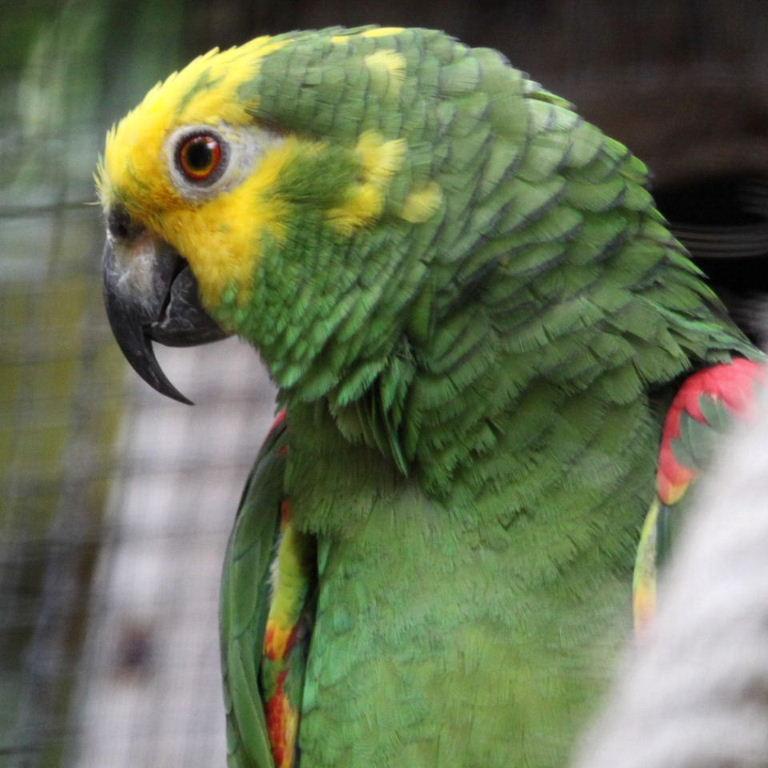 Yellow-crowned Amazon Parrots Yellow Crowned Amazon