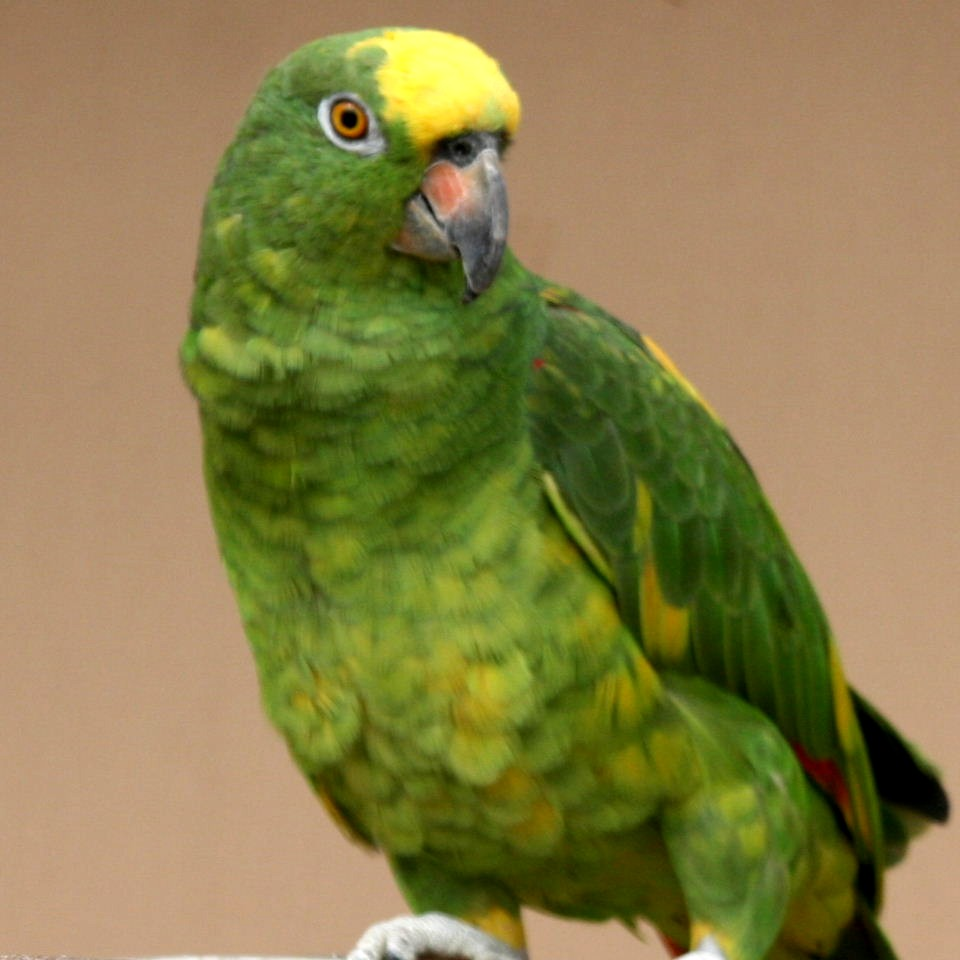 Amazon: Yellow-crowned Amazon Parrots