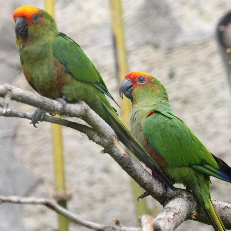 Golden-capped Co...Yellow Green Parakeet
