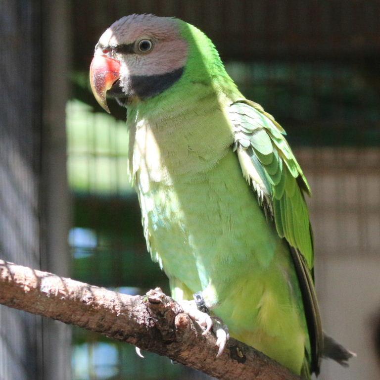 Moustached Parakeet