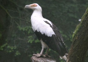 Vulturine Fish Eagle