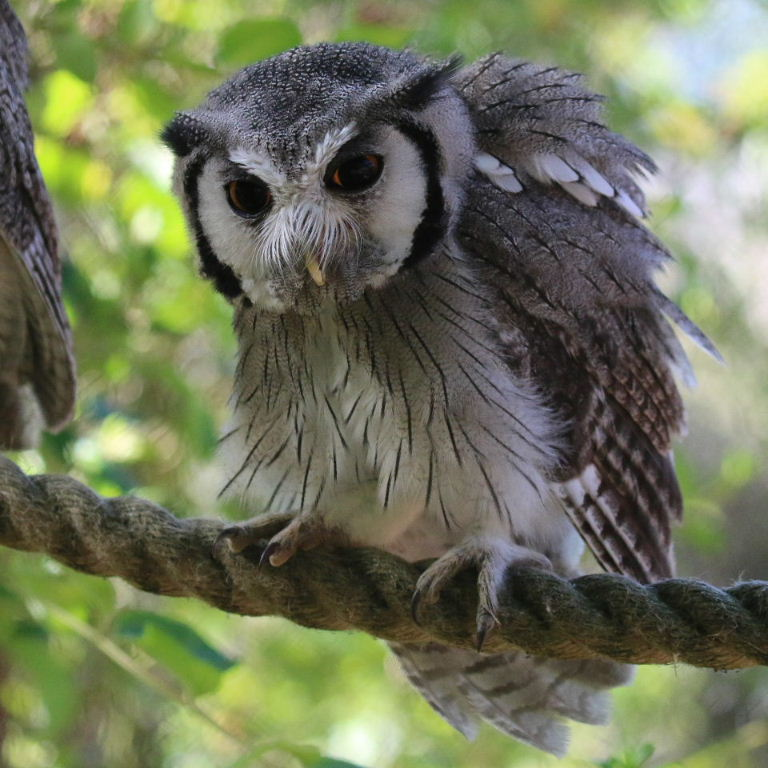 Northern Southern White Faced Owls