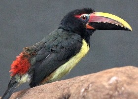Green Aracari male