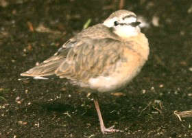 Kittlitz Plover