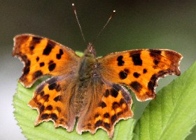 Comma butterfly dark
