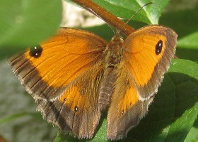 Gatekeeper butterfly female