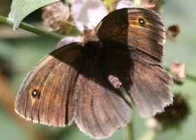Meadow Brown butterfly male