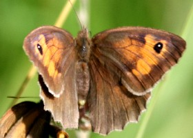 Meadow Brown butterfly female