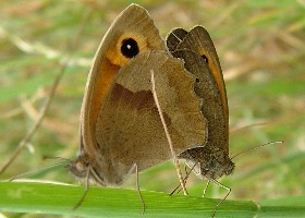 Meadow Brown butterflies