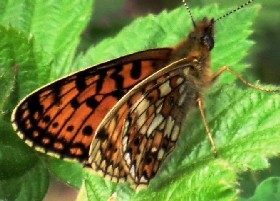 Small Pearl-bordered Fritillary side