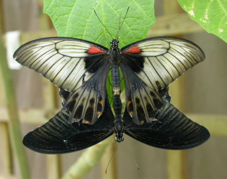 great yellow mormon butterfly