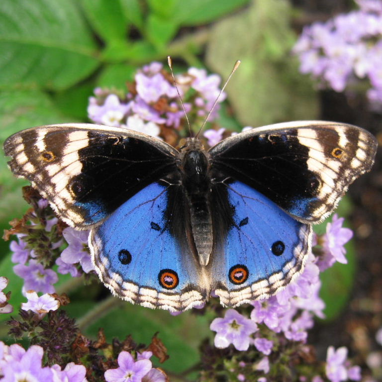 Blue Pansy Butterfly Blue Buckeye Butterfly