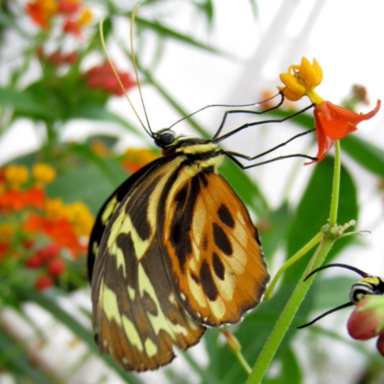 http://www.animalphotos.me/butterfly/tigerwing_files/harmonia_tigerwing1.jpg