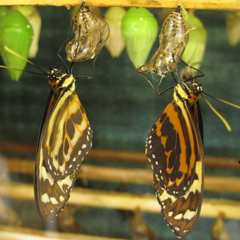http://www.animalphotos.me/butterfly/tigerwing_files/tigerwing.jpg