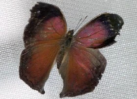 Salamis cacta butterfly