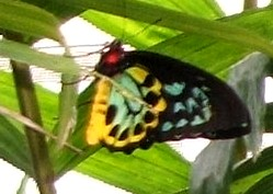 Cairns Birdwing butterfly male