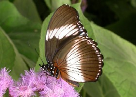 Black-tipped Diadem Butterfly