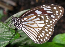 Scarce Blue Tiger butterfly
