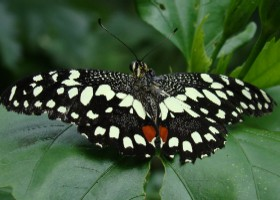 Citrus Lime Swallowtail butterfly