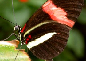 Common Postman Longwing butterfly