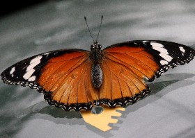 Danaid Eggfly Butterfly female