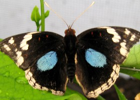 Dark Blue Pansy butterfly male