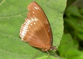 Common Eggfly butterfly female