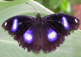 Great Eggfly butterfly male
