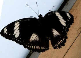 Great Eggfly female mimicking male