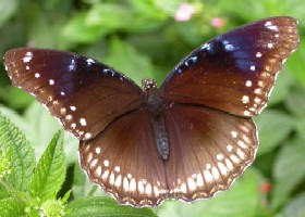Great Eggfly butterfly female