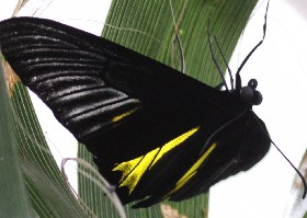 Golden Birdwing butterfly male