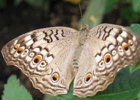 Grey Pansy butterfly