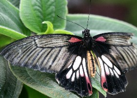 Great Mormon butterfly female