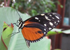 Hecale Longwing butterfly