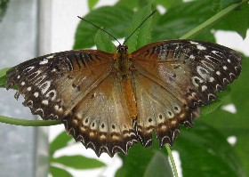 Red Lacewing butterfly female