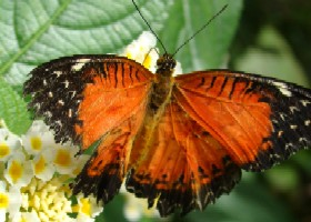 Red Lacewing viridis butterfly