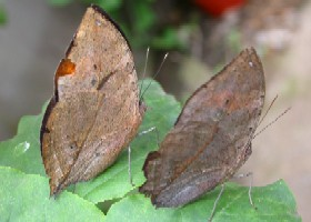 Indian Dead Leaf butterfly