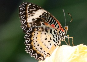 Leopard Lacewing female
