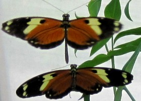 Tigerwing butterflies