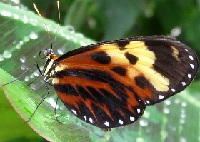 Orange-spotted Tiger Clearwing butterfly