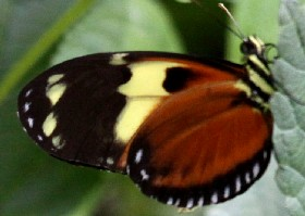 Tigerwing butterfly