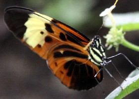 Numata Longwing butterfly