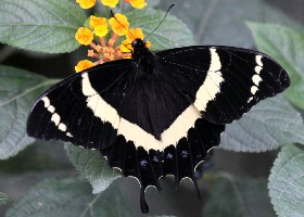 Magnificent Swallowtail Butterfly